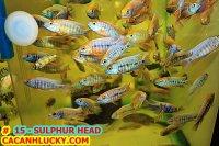 SULPHUR HEAD